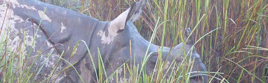 Greater one horned Assam rhino